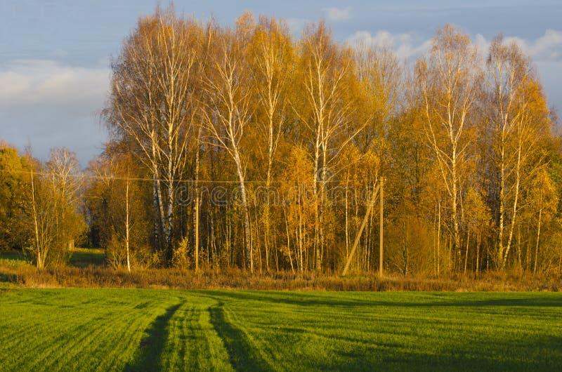 Χρυσό άλσος σημύδων φθινοπώρου και πράσινος τομέας στοκ εικόνα με δικαίωμα ελεύθερης χρήσης