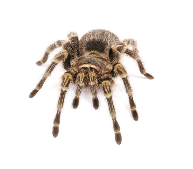 Χρυσό γόνατο Tarantula Chaco στο άσπρο υπόβαθρο στοκ εικόνα με δικαίωμα ελεύθερης χρήσης