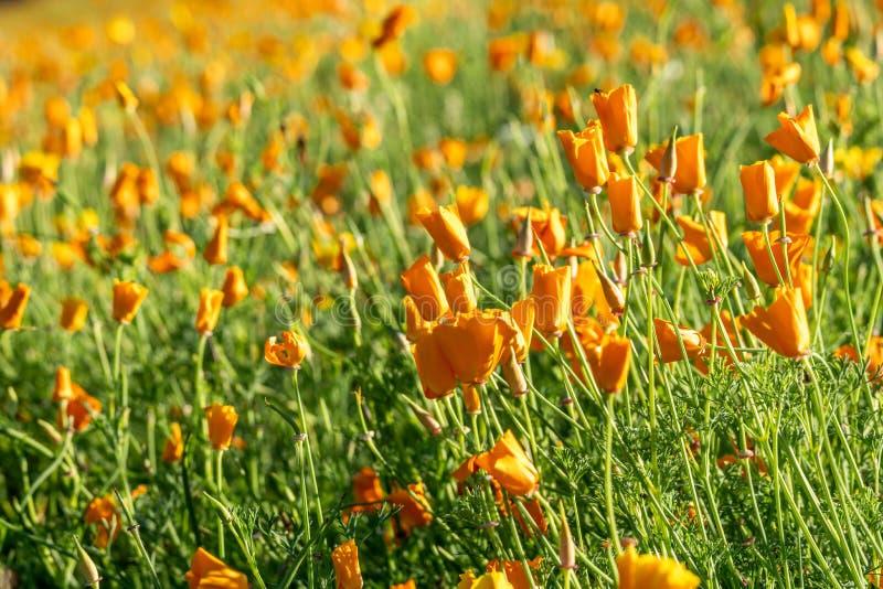 Χρυσό κίτρινο λιβάδι παπαρουνών Καλιφόρνιας στο Hokkaido στοκ φωτογραφίες