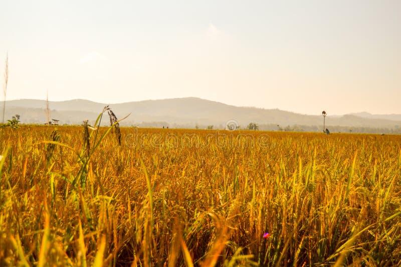 Χρυσό καλλιεργήσιμο έδαφος ορυζώνα στοκ εικόνες