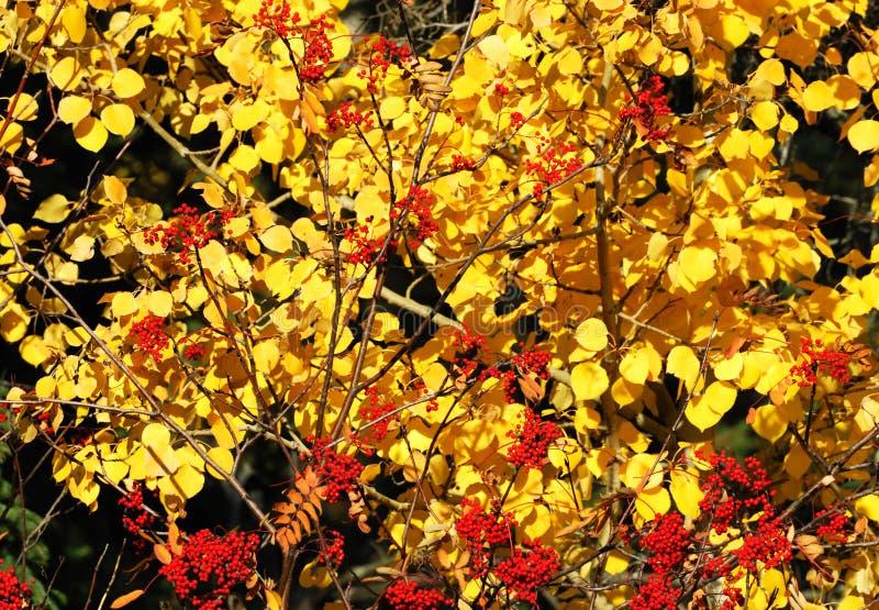 χρυσό κόκκινο φύλλων μούρω στοκ φωτογραφία με δικαίωμα ελεύθερης χρήσης