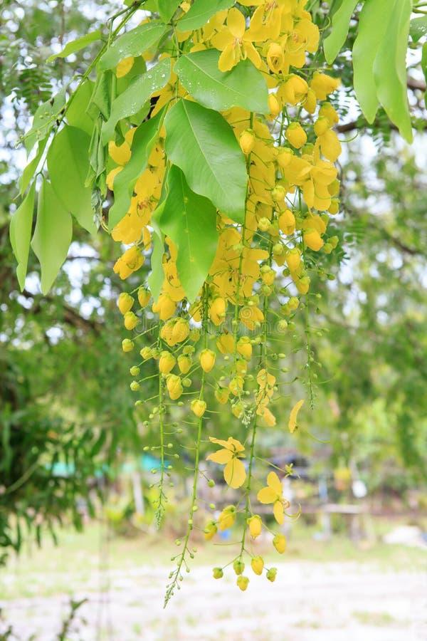 Χρυσό λουλούδι ντους ή γνωστός ως χρυσό δέντρο βροχής, canafistu στοκ φωτογραφίες