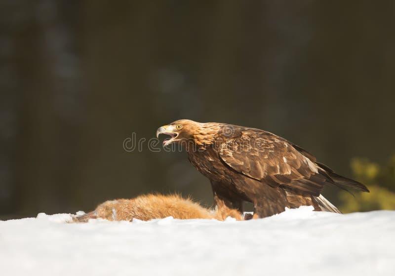 Χρυσό να ταΐσει αετών με μια νεκρή κόκκινη αλεπού στοκ εικόνα με δικαίωμα ελεύθερης χρήσης