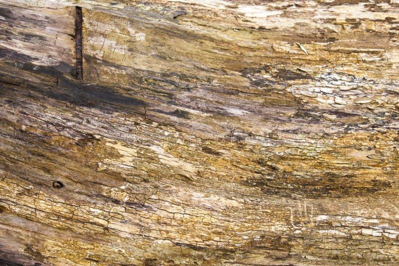 Χρυσό σιτάρι ενός καταρριφθε'ντος δέντρου στοκ εικόνα