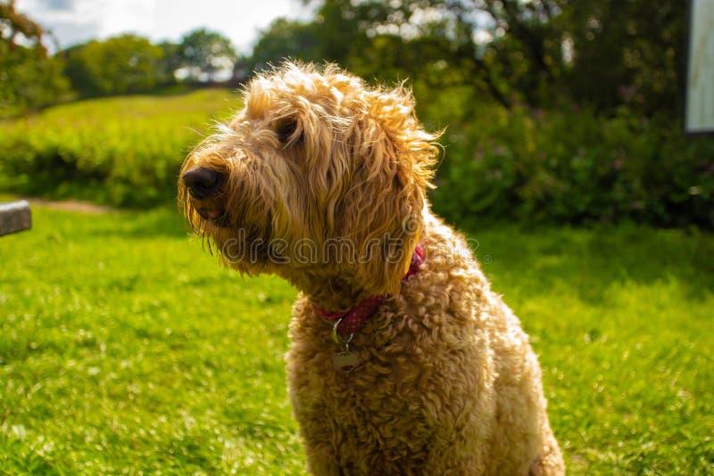 Χρυσό σκυλί φυλής Doodle στοκ φωτογραφία με δικαίωμα ελεύθερης χρήσης