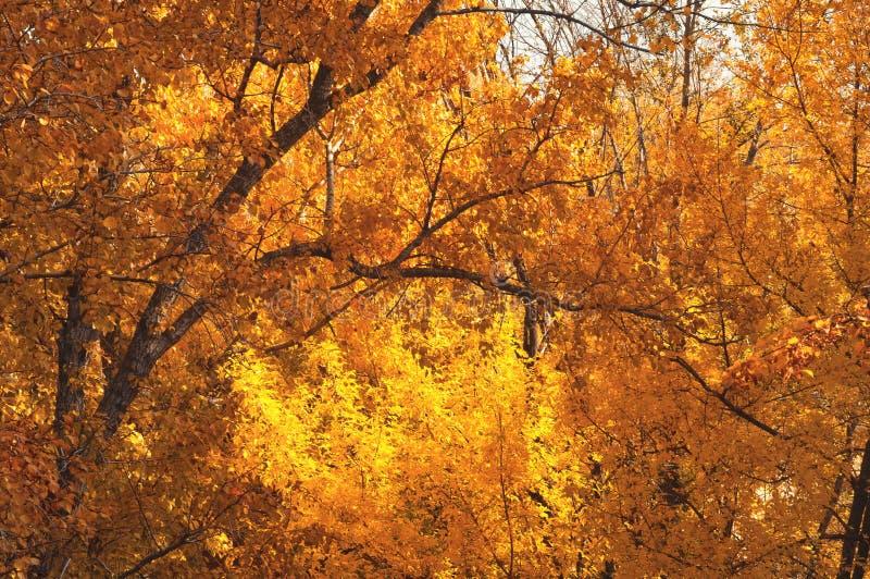 Χρυσό φθινόπωρο τον Οκτώβριο Κίτρινος - πορτοκαλί φύλλωμα στα δέντρα κλάδων Υπόβαθρο πτώσης στοκ εικόνες με δικαίωμα ελεύθερης χρήσης