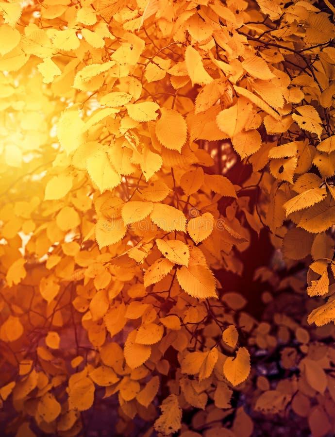 Χρυσό φθινόπωρο - φως του ήλιου και κίτρινα φύλλα στοκ φωτογραφίες με δικαίωμα ελεύθερης χρήσης