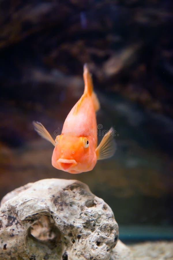 Χρυσό χαμόγελο ψαριών στοκ φωτογραφία με δικαίωμα ελεύθερης χρήσης