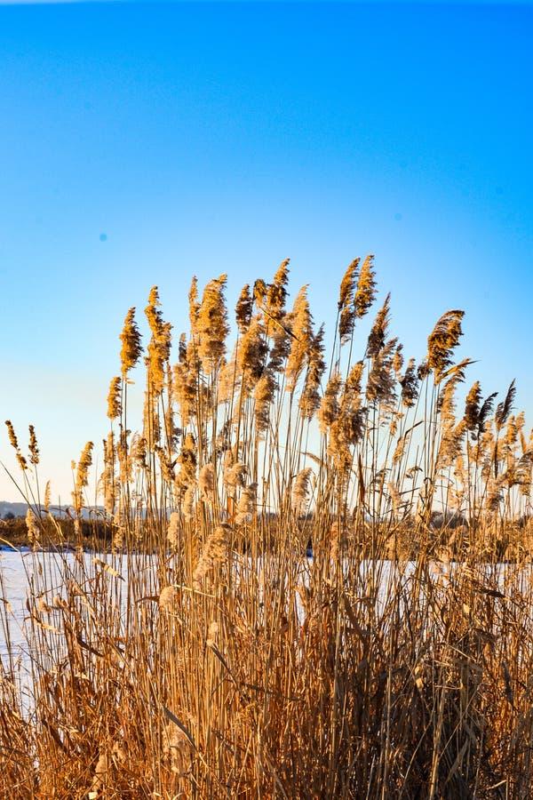Χρυσό bulrush στη χειμερινή λίμνη στοκ φωτογραφίες με δικαίωμα ελεύθερης χρήσης