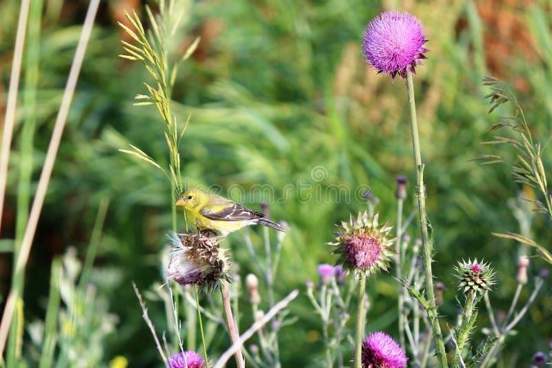 Χρυσό Finch μεταξύ των λουλουδιών στοκ εικόνα