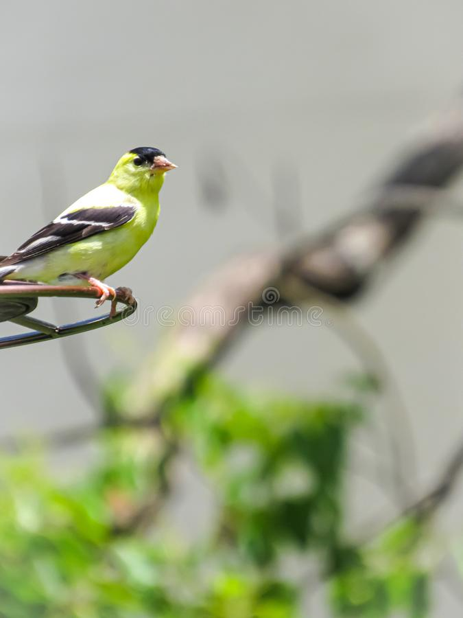 Χρυσό Finch που απολαμβάνει την ηλιοφάνεια μια ημέρα άνοιξη στοκ φωτογραφίες