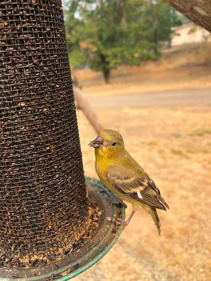 Χρυσό Finch στοκ εικόνες με δικαίωμα ελεύθερης χρήσης