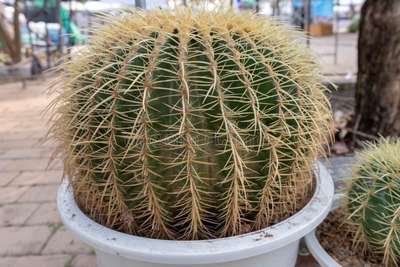 Χρυσό grusonii Echinocactus κάκτων βαρελιών στοκ εικόνα