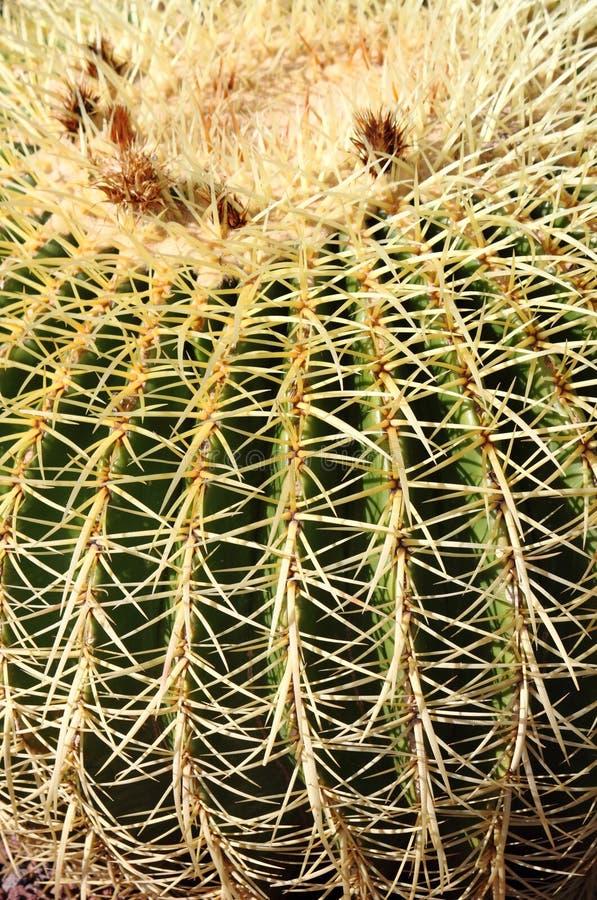χρυσό grusonii echinocactus κάκτων βαρελιών στοκ εικόνες