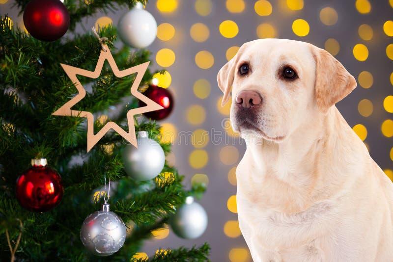 Χρυσό retriever σκυλί πέρα από το υπόβαθρο Χριστουγέννων με τα φω'τα και το γ στοκ φωτογραφία