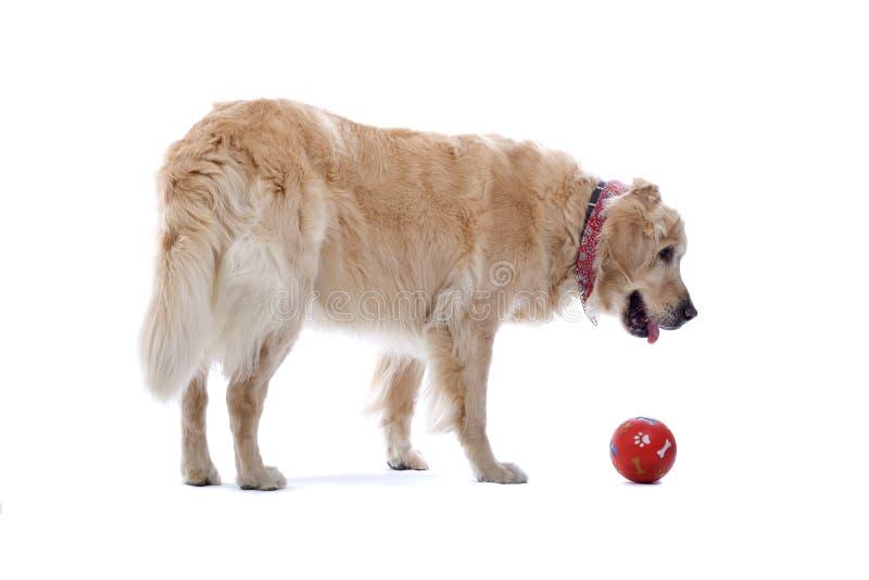 χρυσό retriever σκυλιών σφαιρών στοκ εικόνες με δικαίωμα ελεύθερης χρήσης