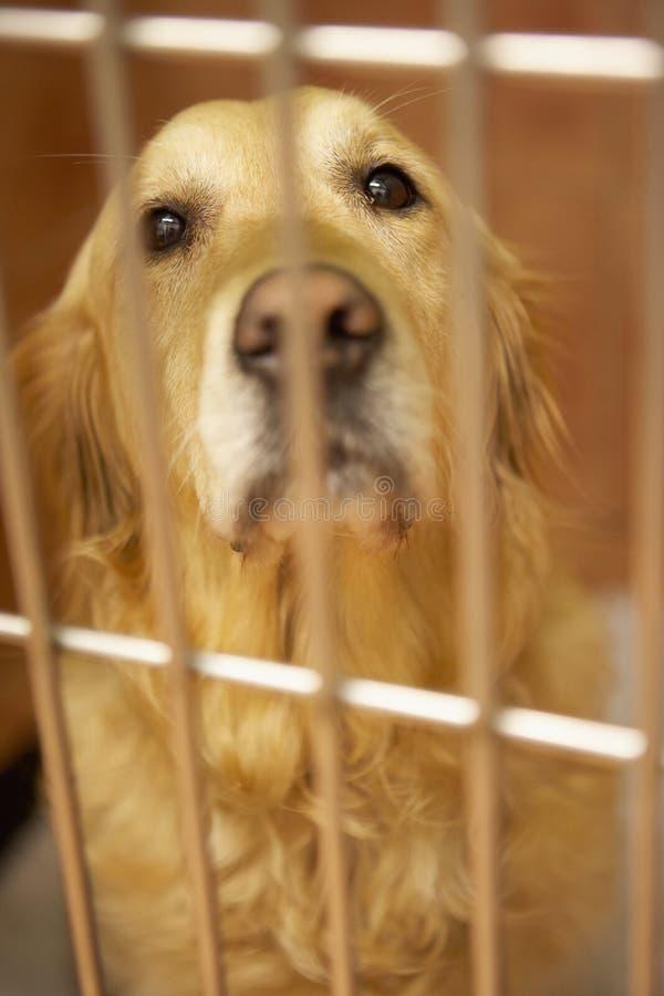 Χρυσό Retriever σκυλί στο κλουβί στην κτηνιατρική χειρουργική επέμβαση στοκ φωτογραφία με δικαίωμα ελεύθερης χρήσης