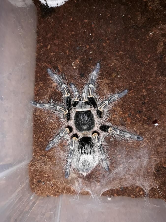 χρυσό tarantula γονάτων chaco στοκ φωτογραφία με δικαίωμα ελεύθερης χρήσης
