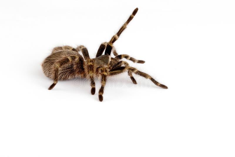 χρυσό tarantula γονάτων chaco στοκ εικόνες