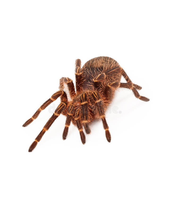 χρυσό tarantula γονάτων chaco στοκ φωτογραφία