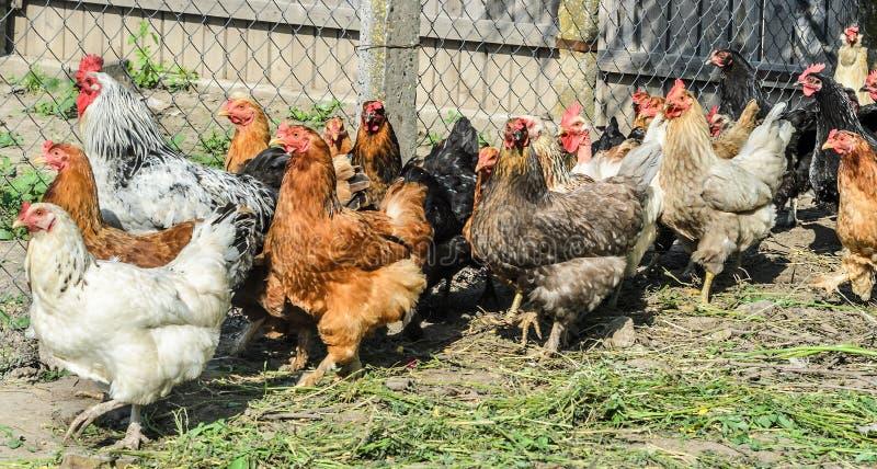 Χρωματισμένα κοτόπουλα στο αγρόκτημα στοκ εικόνα με δικαίωμα ελεύθερης χρήσης