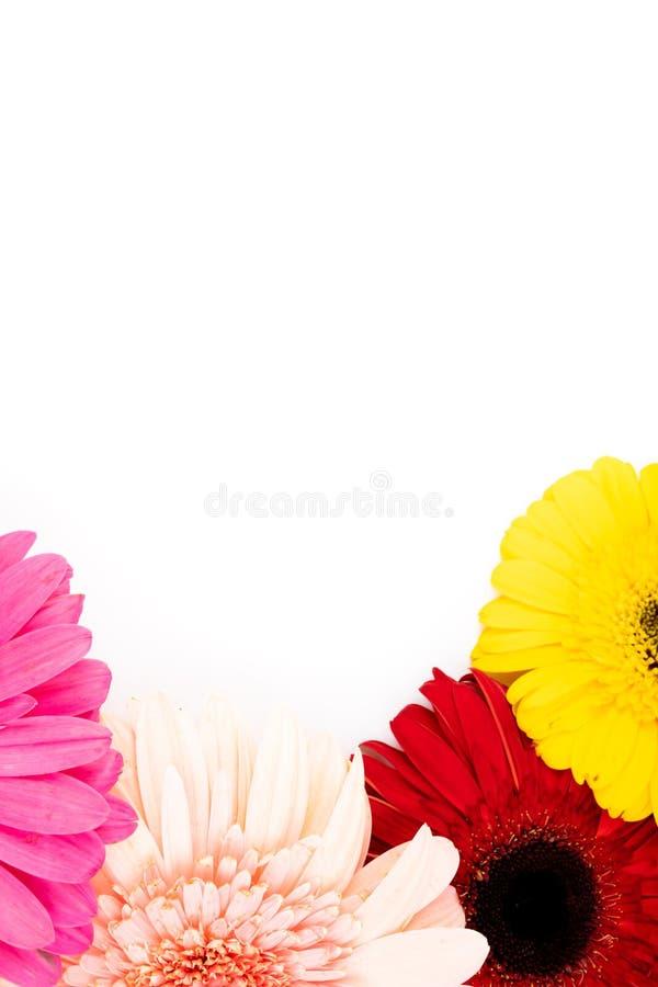 Χρωματισμένα λουλούδια gerbera στοκ εικόνες με δικαίωμα ελεύθερης χρήσης