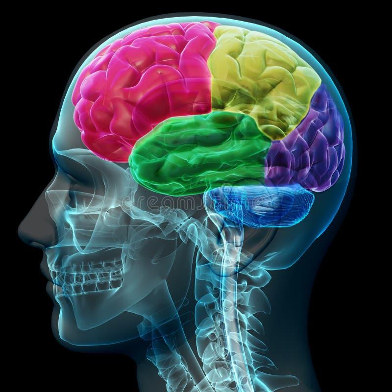 Χρωματισμένα τμήματα ενός αρσενικού ανθρώπινου εγκεφάλου απεικόνιση αποθεμάτων