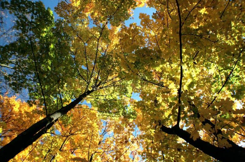 Χρωματισμένα φύλλα σφενδάμου το φθινόπωρο στοκ εικόνες