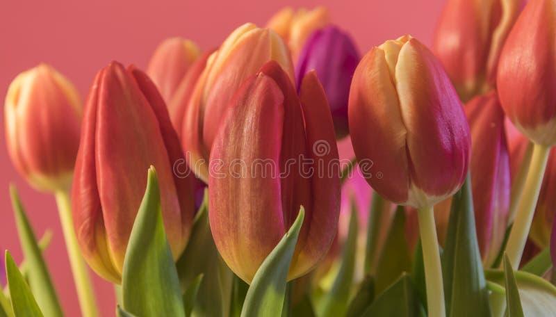 Χρωματισμένες άνοιξη τουλίπες στοκ φωτογραφία
