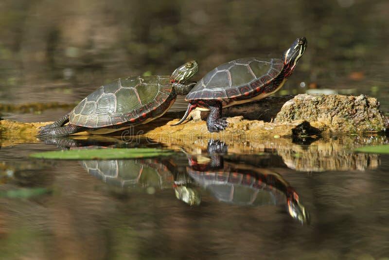 Χρωματισμένες χελώνες που απεικονίζουν στο ύδωρ στοκ φωτογραφίες