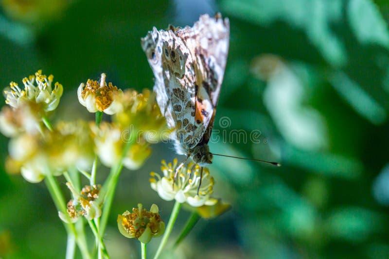 Χρωματισμένη γυναικεία πεταλούδα ( Vanessa cardui)  τροφές με ένα νέκταρ των λουλουδιών του δέντρου Linden στοκ φωτογραφία