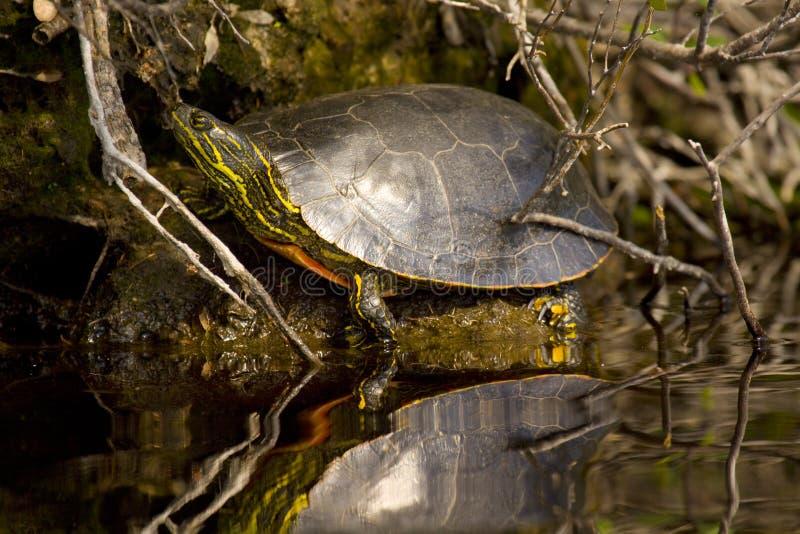 χρωματισμένη χελώνα δυτική στοκ φωτογραφίες