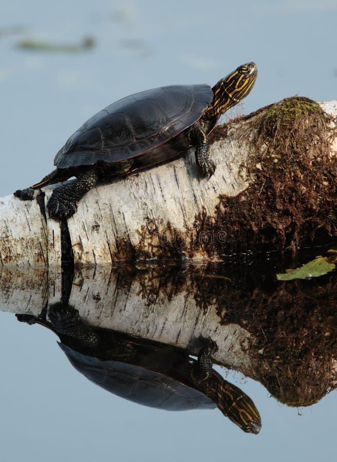 χρωματισμένη χελώνα στοκ εικόνα με δικαίωμα ελεύθερης χρήσης