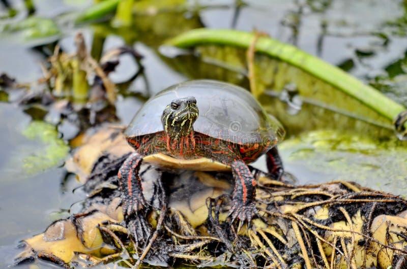 Χρωματισμένη Midland χελώνα στις άγρια περιοχές στοκ εικόνα με δικαίωμα ελεύθερης χρήσης