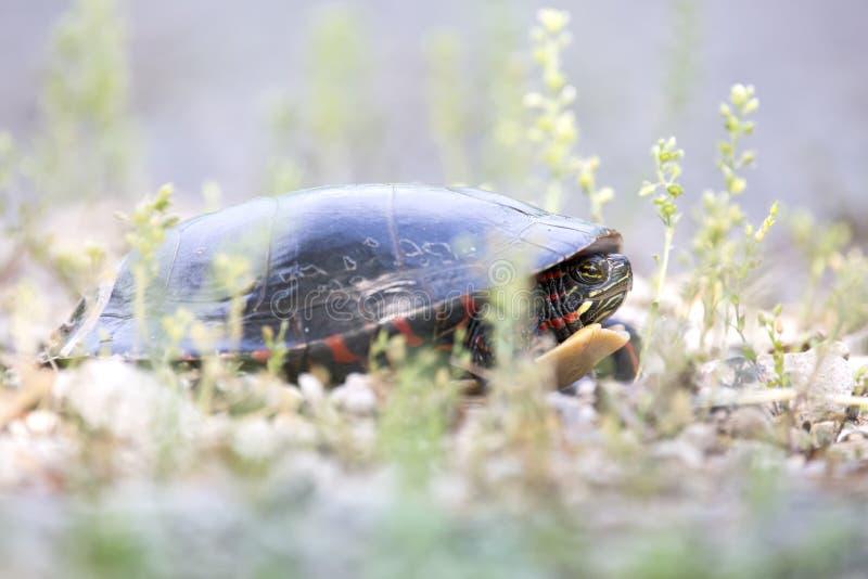 Χρωματισμένη Midland χελώνα που γεννά τα αυγά στοκ φωτογραφίες
