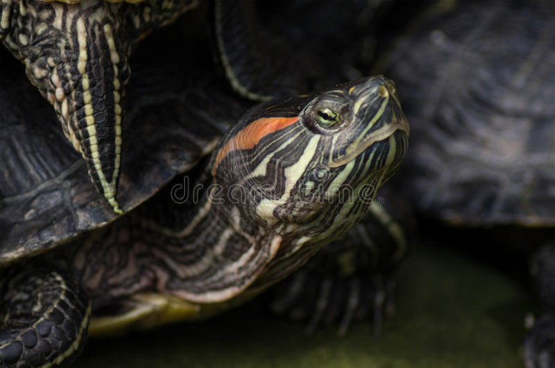 Χρωματισμένη Midland χελώνα στοκ εικόνες