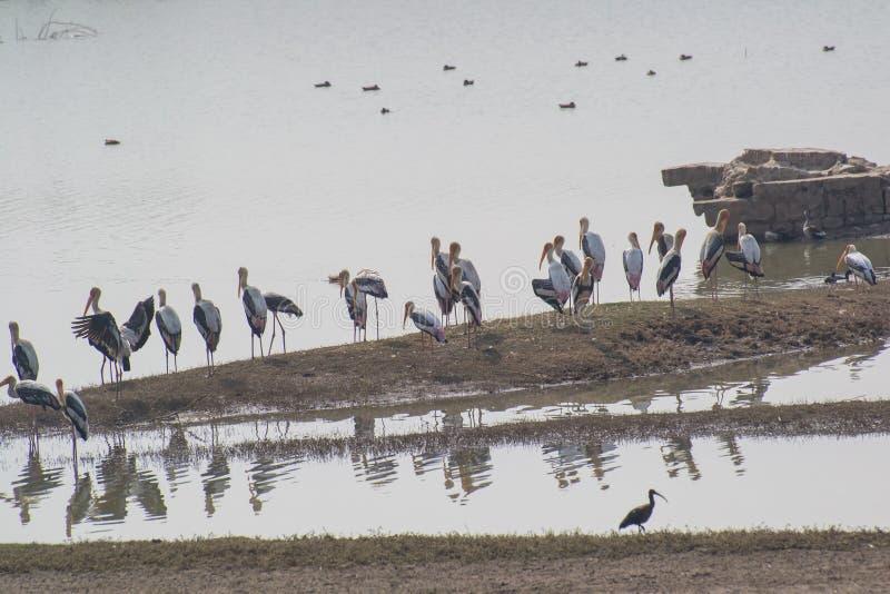 Χρωματισμένοι πελαργοί που στέκονται στο νησί σε μια λίμνη στοκ εικόνες