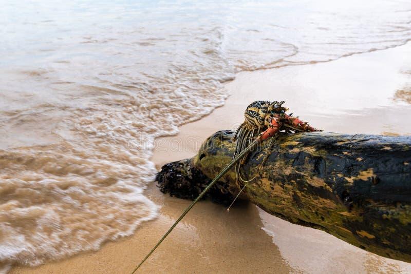Χρωματισμένος ακανθωτός αστακός στην ξυλεία στοκ φωτογραφίες