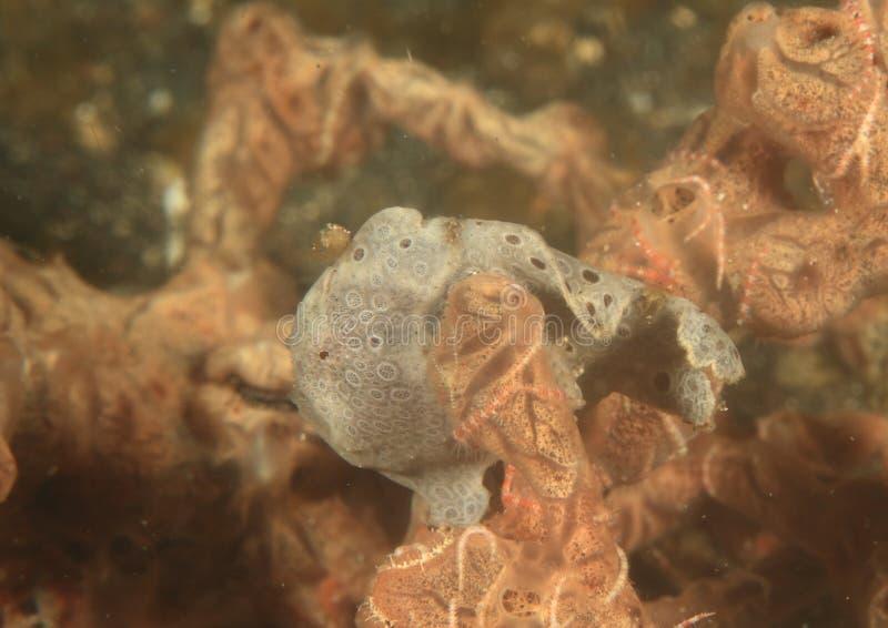 Χρωματισμένος frogfish στοκ φωτογραφία