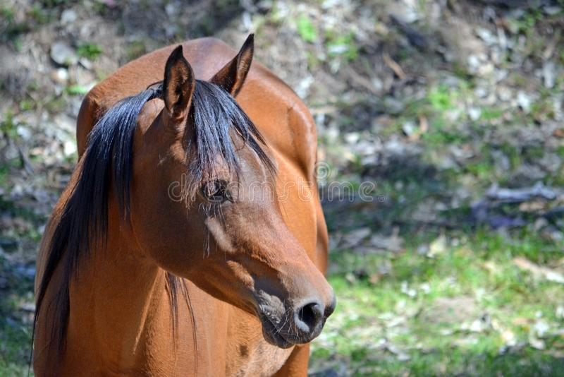 Χρωματισμένο κόλπος άλογο στο σχεδιάγραμμα με το διάστημα αντιγράφων στοκ φωτογραφία