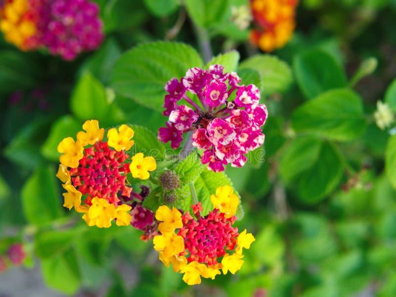 χρωματισμένο λουλούδι πεταλούδων στοκ εικόνες με δικαίωμα ελεύθερης χρήσης