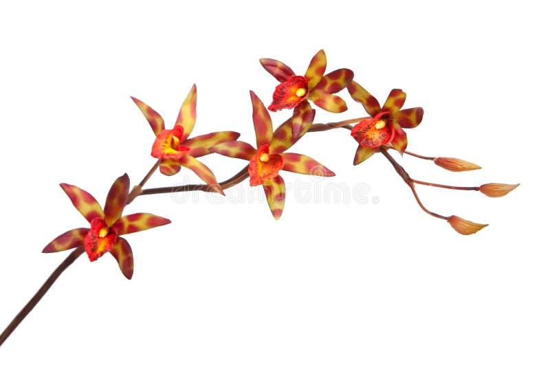 χρωματισμένο πολυ orchid στοκ φωτογραφία με δικαίωμα ελεύθερης χρήσης