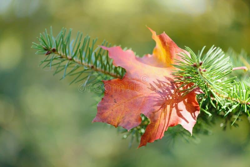 Χρωματισμένο φύλλο σφενδάμου στο δέντρο πεύκων στοκ φωτογραφία με δικαίωμα ελεύθερης χρήσης