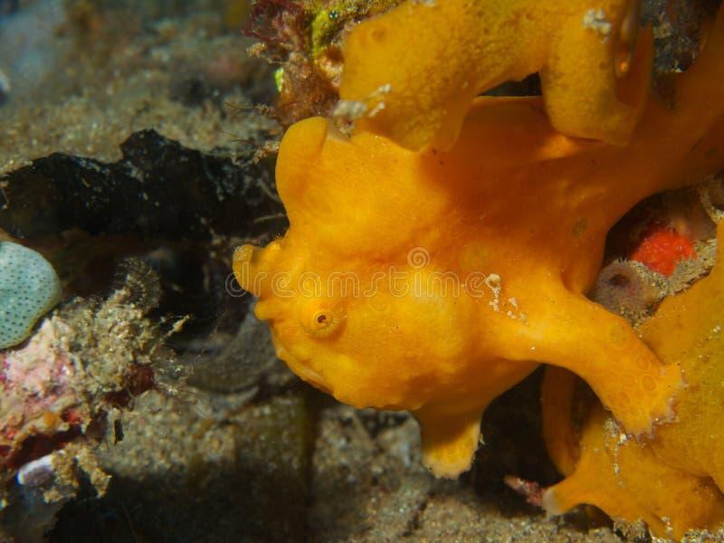 Χρωματισμένο Frogfish στοκ εικόνα με δικαίωμα ελεύθερης χρήσης