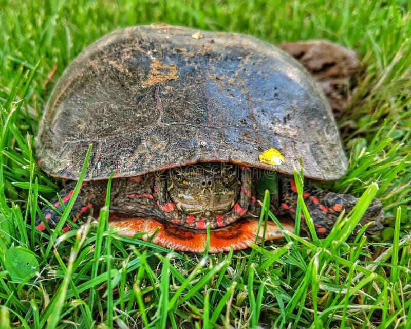 Χρωματισμένο Midland marginata picta Chrysemys χελωνών στοκ εικόνα