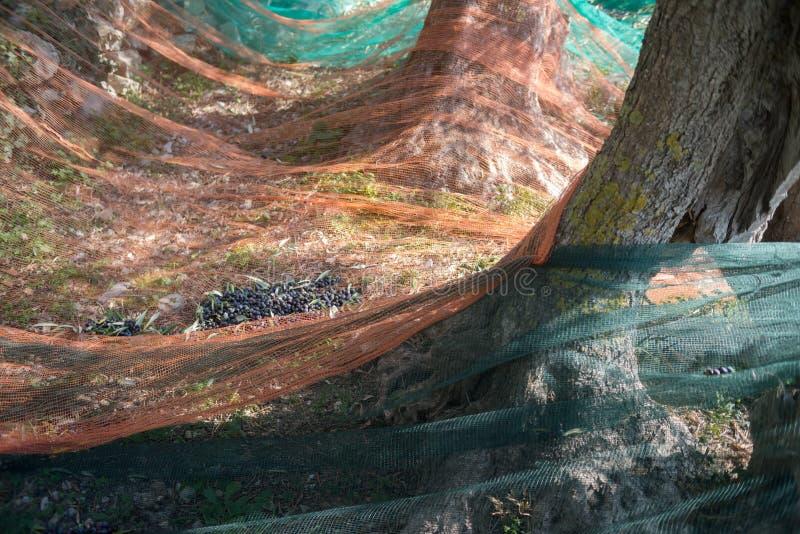 χρόνος ελιών συγκομιδών &kappa στοκ φωτογραφίες