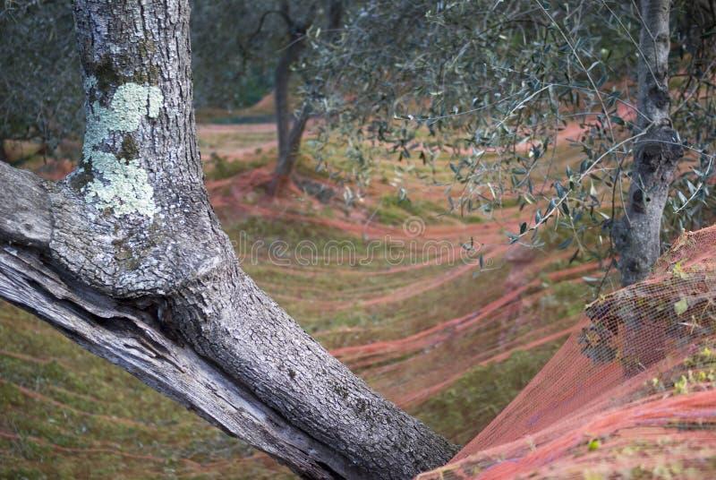 χρόνος ελιών συγκομιδών &kappa στοκ εικόνες με δικαίωμα ελεύθερης χρήσης