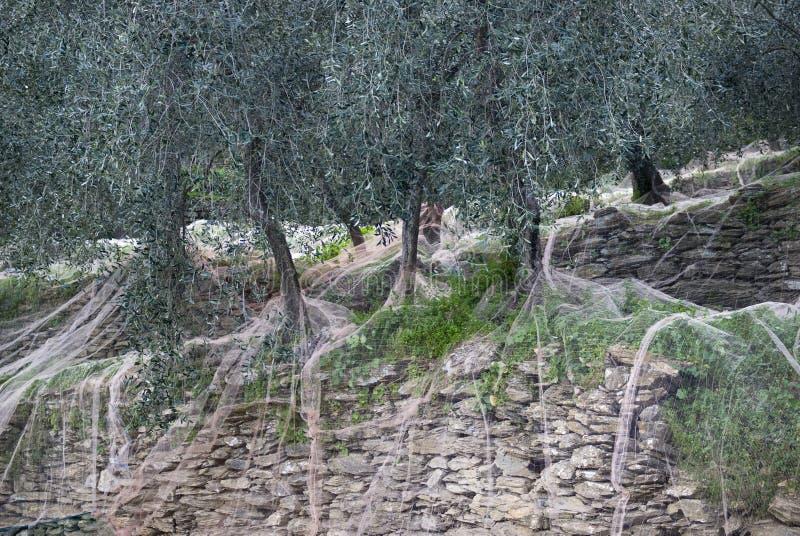 χρόνος ελιών συγκομιδών &kappa στοκ φωτογραφία με δικαίωμα ελεύθερης χρήσης