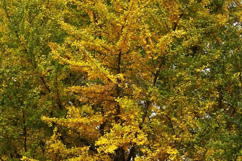 Χρώματα φθινοπώρου στα φύλλα των δέντρων στο χωριό Baisha, Lijiang, Yunnan, Κίνα στοκ εικόνα