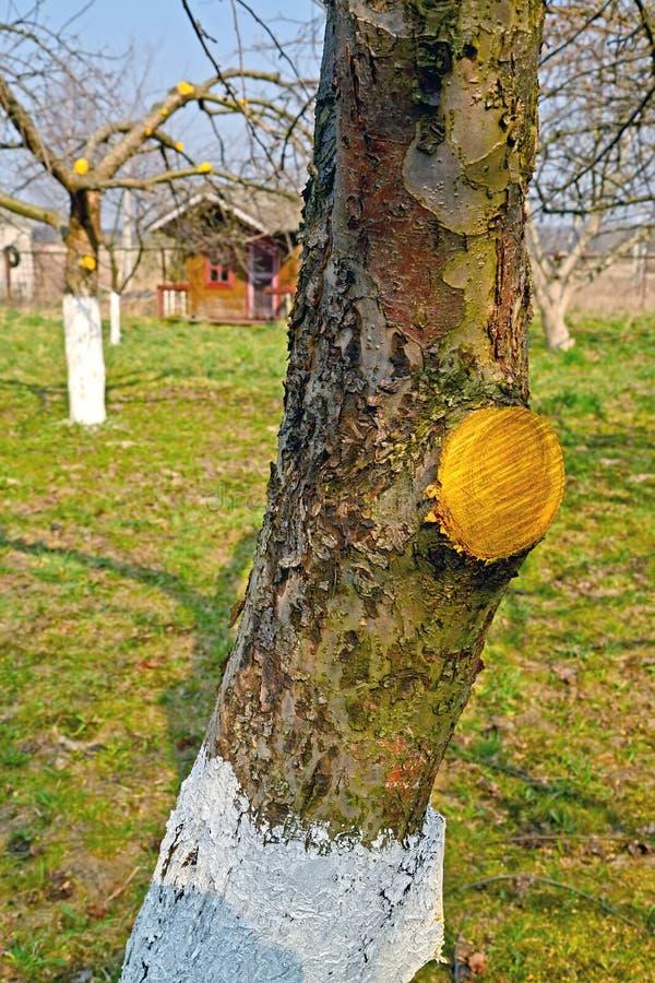 Χρώμα δέντρο-πληγών σε μια περικοπή κλάδων φρούτο-δέντρων Εργασίες άνοιξη σε έναν κήπο στοκ φωτογραφία με δικαίωμα ελεύθερης χρήσης